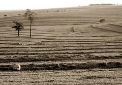 fall (joaobambu) Tags: autumn brazil blackandwhite bw tree fall lines brasil sepia rural season landscape countryside scenery quote text curves terraces harvest philosophy 2006 pb tao pretoebranco curvas curvasdenivel taosimo