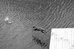 Flying Dog (melissa h.) Tags: bw dog lake fly jump jumping dock gray weimaraner elijah