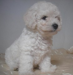 My name is Docinho (marlenells) Tags: dog white animal topc25 topv111 510fav topv555 topv333 soft fluffy maringá