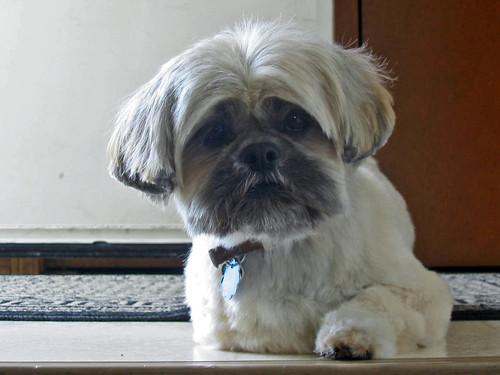 dog hairstyle. dog haircuts