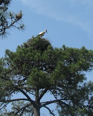 Cegonha (Inês L.) Tags: portugal birds birdsinportugal avesemportugal aves algarve cegonha marim thisisportugal parquenaturaldariaformosa prnpppriaformosa