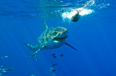 Taking the Bait (ScottS101) Tags: nature danger mexico ilovenature shark pacific scuba diving cage sharks predator allrightsreserved carcharias carcharodon ilovetheocean guadalupeisland whitesharks copyrightscottsansenbach2008