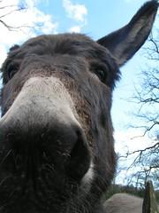 PICT0030 (Matek) Tags: arse donkey esel osiol