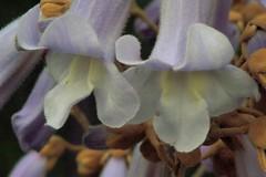 Flowers of the Royal Poulowina tree (RobDurfee) Tags: flowers flower tree virginia spring princesstree ccmpclosencounter royalpoulowina