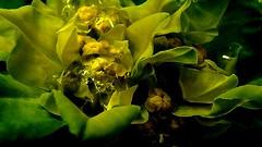 Wolfsmilch (multiflora) Tags: flower garden spring euphorbiaceae