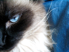 Mr.Blue (Nikktond) Tags: blue eye animal cat fur chat yeux lookatme minimalism animaux poil monsieur nik1 nikktond fourfavs p1f1 flickrhearts kittycrown superhearts heartawards eperke somethingblueinmylife platinumheartawards