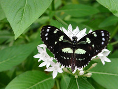 6627 (Lollie Dot Com) Tags: butterfly insect missouri branson flutterby thebutterflyplace lolliedotcompix