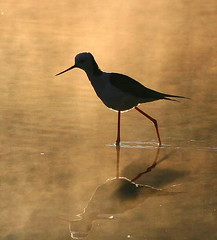 Early Morning Stilt (Chi Liu) Tags: bird nature water stilt blackwingedstilt recurvirostridae chiliu hhimantopus