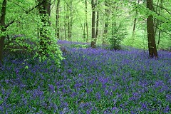 bluebell wood (algo) Tags: wood england leaves bluebells photography chilterns topv999 topv777 algo topv50