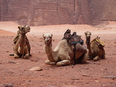 Our Camels (Neil and Kathy Carey) Tags: wadirum jordan camels