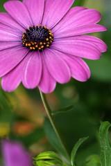 A Crown of Stars (code poet) Tags: pink blue orange flower macro green topf25 beautiful yellow topv111 topv555 topv333 purple bokeh quality topv1111 topv999 magenta 100v10f 100mm apex topv777 africandaisy osteospermum