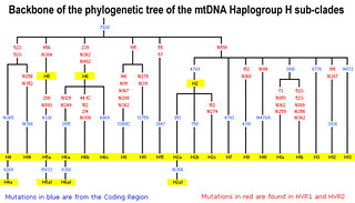 Backbone of the phylogenetic tree of the mtDNA haplogroup H sub-clades