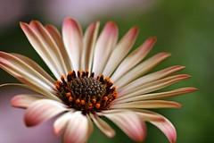 (code poet) Tags: red orange brown white flower macro green topf25 beautiful topv111 wow topv555 topv333 bokeh cream 100v10f 100mm topv777 africandaisy osteospermum apexmacro