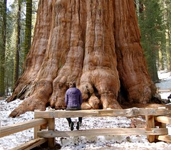 Contemplation (Dave Simon (@ds)) Tags: california trees tree scale d50 nationalpark nikon huge redwoods bigtrip sequoia 1855mmf3556g sequoianationalpark largest generalsherman bigsmall amazment largestliving