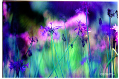 A Color & Light Show (My Fav.) (etravus) Tags: flowers blue dog painterly film canon garden interestingness saturated flora colorful flickr dof purple bokeh vivid monet travis impressionism getty wildflowers shallow f28 eos1 musem travisprice etravus agfaultra50