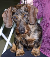 Louis - Wirehair Dachshund (CharmDar) Tags: dog louis top20hallfame dacshund top20halloffame top20smalldogshots wirehairdachshund top20smalldogshotshalloffame