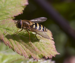"""hoverfly and friend • <a style=""""font-size:0.8em;"""" href=""""http://www.flickr.com/photos/57024565@N00/141997924/"""" target=""""_blank"""">View on Flickr</a>"""
