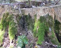 Chipmunk on the Stump (~Sage~) Tags: tree sage chipmunk stump mossy