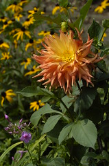 Dahlia (Shantaram5) Tags: dahlia rudbeckia phlox blackeyedsusan