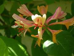 honeysuckle (the nephilim) Tags: macro floral honeysuckle