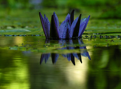 (zenog) Tags: searchthebest ~~ corona jardimbotanico coroa waterlilly couronne blueandgreentogether nimphea verdeblu
