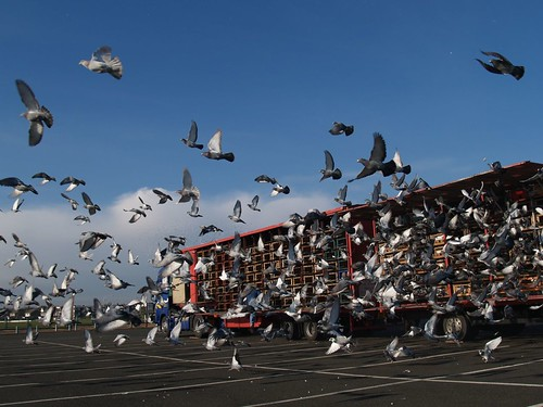 Pigeon race by Mr Clive.