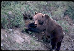 Grizzly bear - Denali National Park, Alaska (Nikon Nut) Tags: bear alaska kill grizzly brownbear grizzlybear denalinationalpark ursusarctoshorribilis
