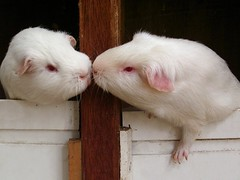 Hello (bivoir) Tags: pet cute guinea pig guineapig cavies cavy kiss adorable awww blueribbonwinner cotcmostinteresting 1on1petshalloffame 1on1petsjunehalloffame abigfave impressedbeauty ibybvd077 ibybvd077f fotocompetition fotocompetitionbronze guineapigphotography cavyphotography