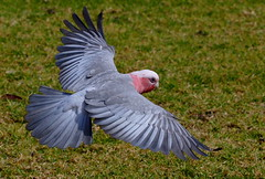 Galah In-flight (Chi Liu) Tags: bird nature inflight parrot australia galah cacatuaroseicapilla eolophusroseicapillus chiliu