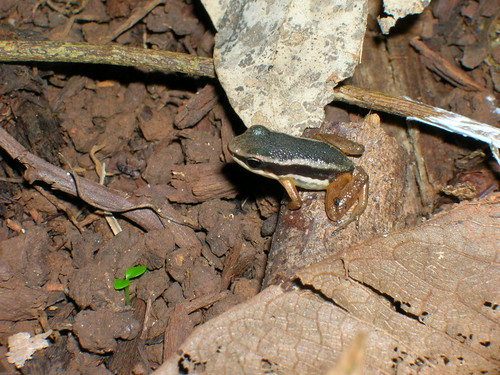 Ranas punta de flecha (Especies)