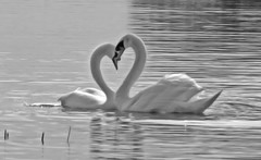 Heart of Swans - by Darragh Sherwin