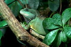 green iguana (bea2108) Tags: animal animals zoo iguana lovely leguan