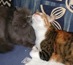 lovestory 3 (HagitSha) Tags: cats cat kitty nancy kitties vic