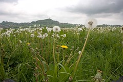 isle of avalon rises above a sea of dandelions (Tobymutz) Tags: england somerset glastonburytor summerlands somersetlevels isleofavalon dandelionmeadow seaofdandelions