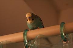 Waiting to strike (Lodigs) Tags: blue pet bird budgie parakeet nibbler