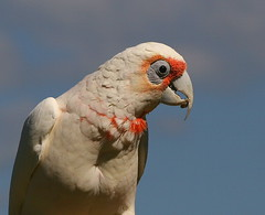 Long-billed Corella (Chi Liu) Tags: bird nature parrot australia longbilledcorella cacatuatenuirostris chiliu