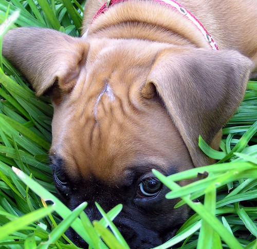 "Boxer puppy says ""Shhhhh.... I'm hiding"""