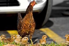 Urban Mama Chicken (key lime pie yumyum) Tags: chickens delete9 delete5 delete2 florida delete6 delete7 save3 delete8 delete3 delete delete4 save save2 save4 chicks keywest peeps fightingcock bigpinekey tweetlittlechicks delete10zickie