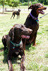 MY FURRY CHILDREN (Doggies Are From Heaven) Tags: park rescue dog brown dogs mutt zeus doberman liver benni mixedbreed gsp dax germanshorthairpointer zooie animaladdiction