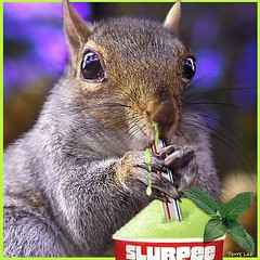 Brain Freeze (Terry_Lea) Tags: squirrel squirrels slurp photoshopfun tbas