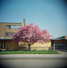 Abandoned Cherry Tree (J.T.R.) Tags: camera toronto tree top20favorites toy holga spring blossom cherryblossom sakura mcrae holga120s wicksteed lairdeglintonarea