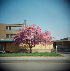 Abandoned Cherry Tree (J.T.R.) Tags: camera toronto tree top20favorites toy holga spring blossom cherryblossom sakura mcrae holga120s wicksteed lairdeglintonarea