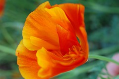 Rainbow Poppy (allisonwonderland) Tags: poppy californiapoppy closeup flowers plants orange yellow tag1 tag2 tag3 taggedout thecontinuum topv111