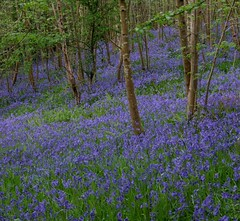 Blue carpet (Viche) Tags: wood blue bluebells scotland woods fife 123 321 bluebell interestingness4 123n specnature keilsden wtme pitcruvie