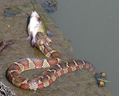 Northern Water Snake with a Catfish (Detail) (roddh) Tags: detail nature canon snake catfish prey predator dukegardens pro1 roddh