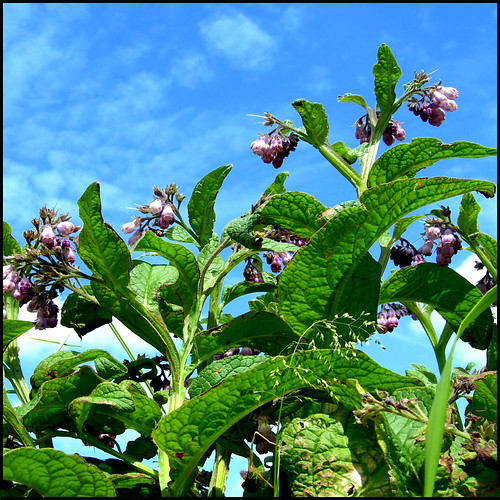 COMFREY (BREAK A LEG)