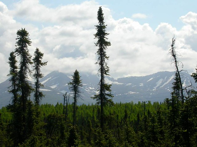 Black spruce & Chugach Mountains