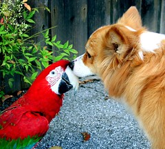 corgi kisses (sansanparrots) Tags: friends red dog bird love pembroke corgi kiss parrot pals macaw welshcorgi greenwingmacaw kaley