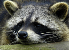 racoon2 closeup (bea2108) Tags: beautiful animal animals zoo racoon osnabrck racoons i500 interestingness360 specanimal