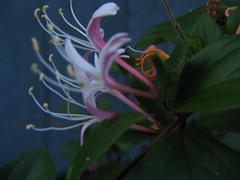 IMG_2774 (Bonnie or cinnabear100) Tags: pink flower honeysuckle